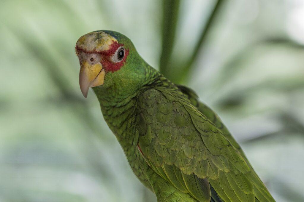 Amazon Bia%C%oczelna Amazon Parrot  - Katrina_S / Pixabay