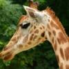 Animal Giraffe Mammal Wildlife  - piednoirmatthieu / Pixabay