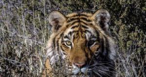 Animal Tiger Mammal Endangered  - LionMountain / Pixabay