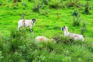 Animals Nature Eat Sheep Cute  - nikolaus_bader / Pixabay