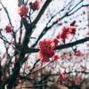 Asia Japan Sakura Winter Tree  - viarami / Pixabay