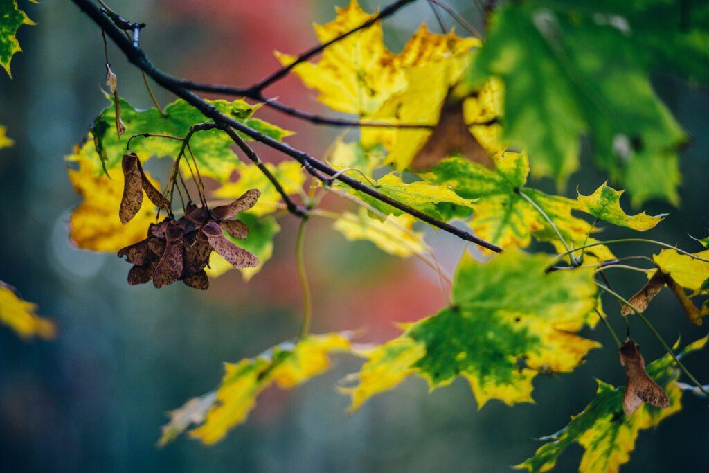 Autumn Foliage Colors Yellow Clone  - kasjanf / Pixabay