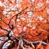 Autumn Maple Autumnal Leaves Kaede  - buuke8j / Pixabay
