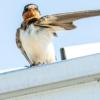 Barn Swallow Fledgling Swallow  - 16081684 / Pixabay