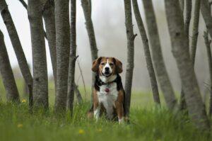 Beagle Dog Woods Trees Tree Trunks  - Sapphiremoon921 / Pixabay