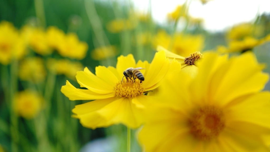 Bee Insect Pollinate Pollination  - anhhoi / Pixabay