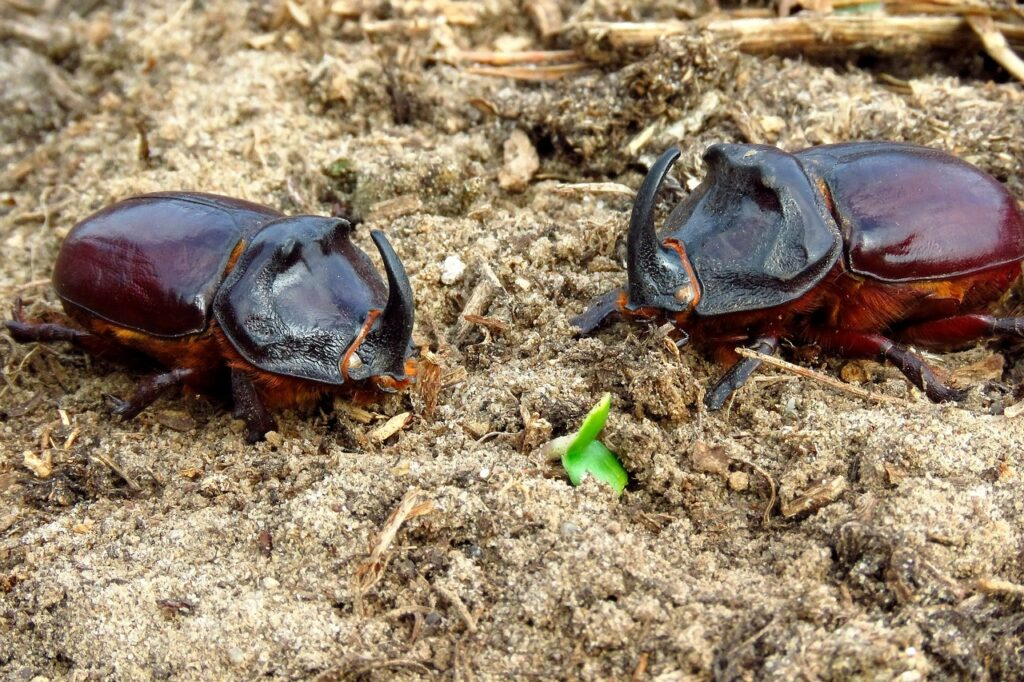 Beetles Beetle Rhino Insect Nature  - sergei_spas / Pixabay