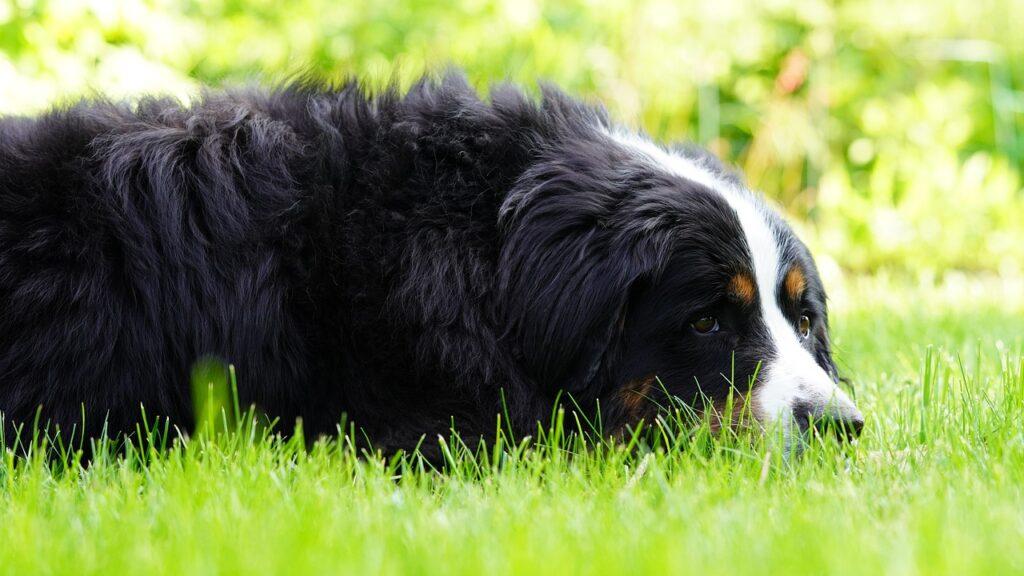 Bernese Mountain Dog Grass Dog  - Mylene2401 / Pixabay
