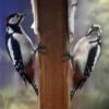Bird Birds Woodpecker Large  - Gab-Rysia / Pixabay