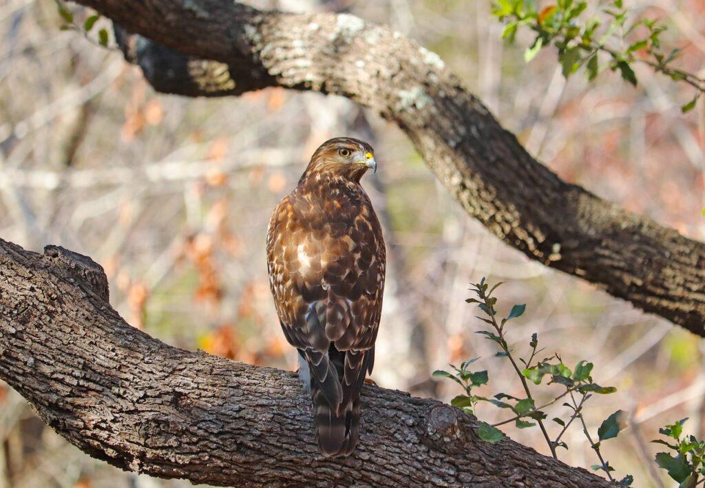 Bird Hawk Raptor Branch Perched  - GeorgeB2 / Pixabay