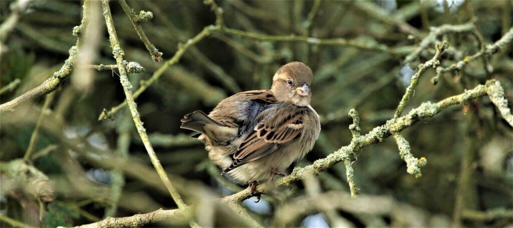 Bird House Sparrow Songbird Nature  - DavidReed / Pixabay