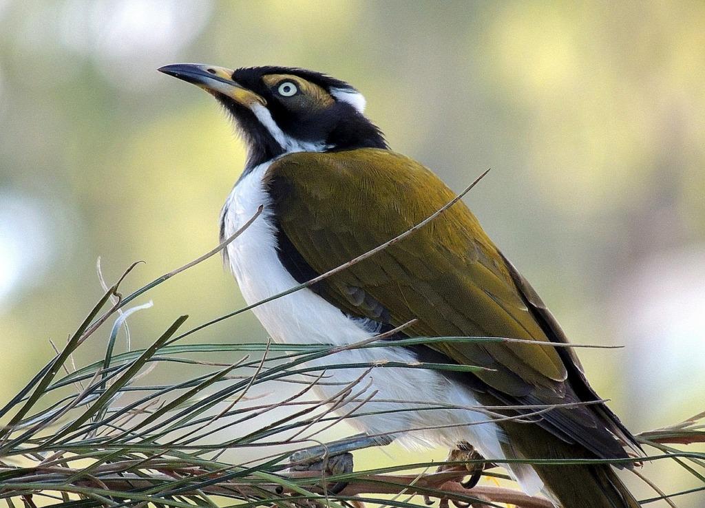 Bird Introduced Species Wildlife  - Meridy / Pixabay
