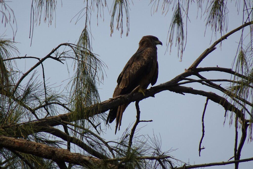 Bird Kite Tree Black Kite  - sarangib / Pixabay