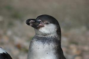 Bird Penguin Ornithology  - DominikRh / Pixabay
