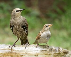 Birds Sparrow Starling Wings  - Vizetelly / Pixabay