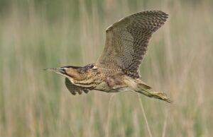 Bittern Bird Heron Animal Flying  - HenkvanDorp / Pixabay