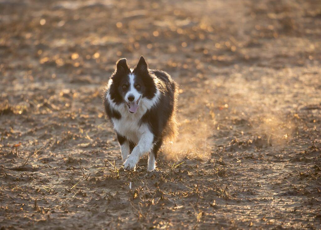 Border Collie Dog Run Pet Animal  - TheOtherKev / Pixabay