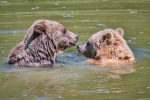Brown Bears Bears Animal Swim  - Antranias / Pixabay