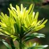 Buddhist Pine Yew Plum Pine  - ignartonosbg / Pixabay