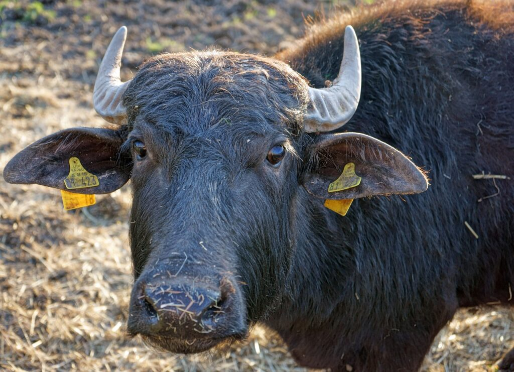 Bull Ear Tag Beef Meadow Cow Farm  - STRIEWA / Pixabay