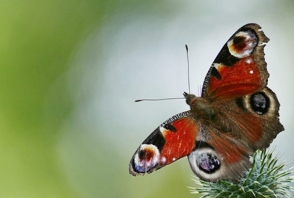 Butterfly Insect Peacock Butterfly  - gamagapix / Pixabay