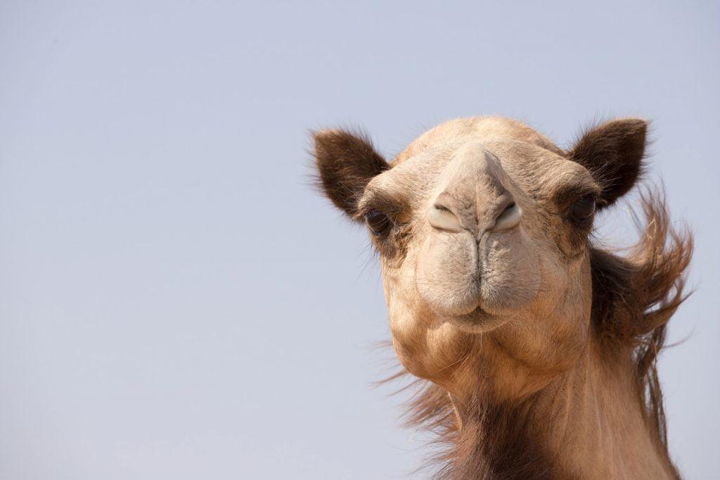 Camel Animal Dubai Uae Emirates  - Rawlight / Pixabay