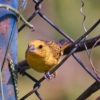 Canary Bird Bird Fence  - boanergesjr / Pixabay