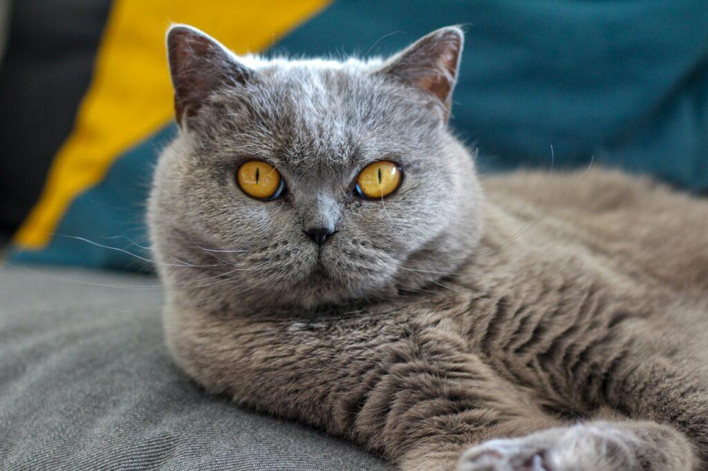 Cat British Short Hair Fur Pet  - Wa_Racoon / Pixabay