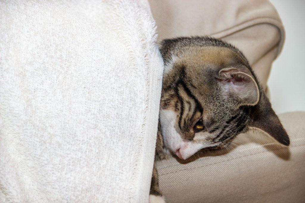 Cat Domestic Cat Breed Cat Pet  - guvo59 / Pixabay