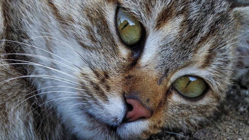 Cat Eyes Cats Nose Pet Kitten Fur  - keziaschen / Pixabay