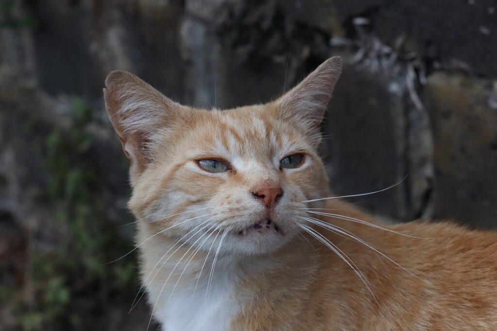 Cat Ginger Cute Pretty Friendly  - DharmaWolf / Pixabay