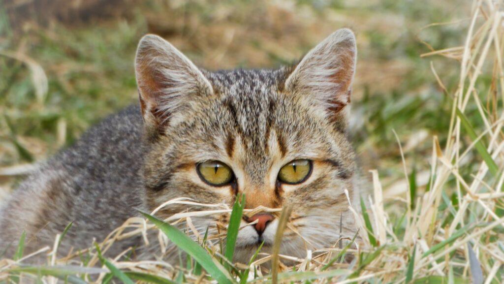 Cat Kitten Tabby Pet Young Cat  - johannaschendel / Pixabay