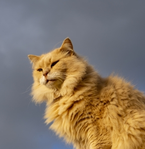Cat Orange Cat Feline Pet Furry  - Nicholas_Demetriades / Pixabay