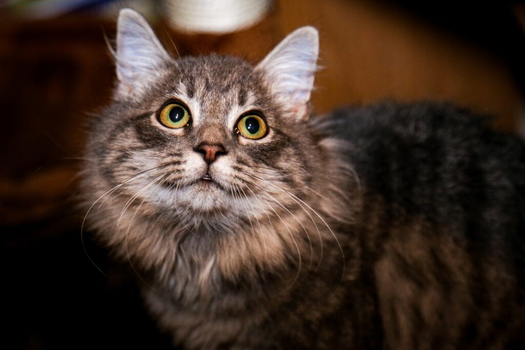 Cat Pet Animal Domestic Cat Feline  - rjcoona / Pixabay