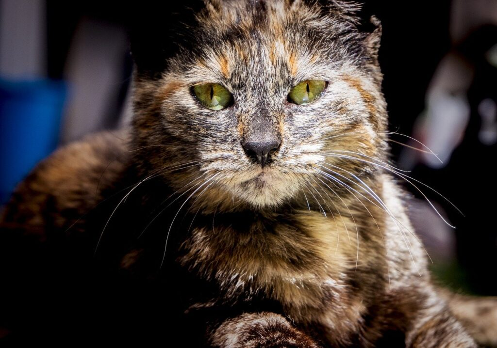 Cat Pet Animal Face Whiskers  - gabridinardo / Pixabay
