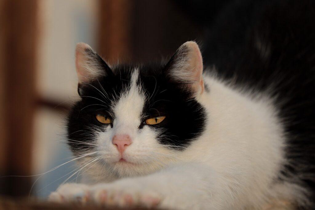 Cat Portrait Eyes Domestic Cat  - WFranz / Pixabay