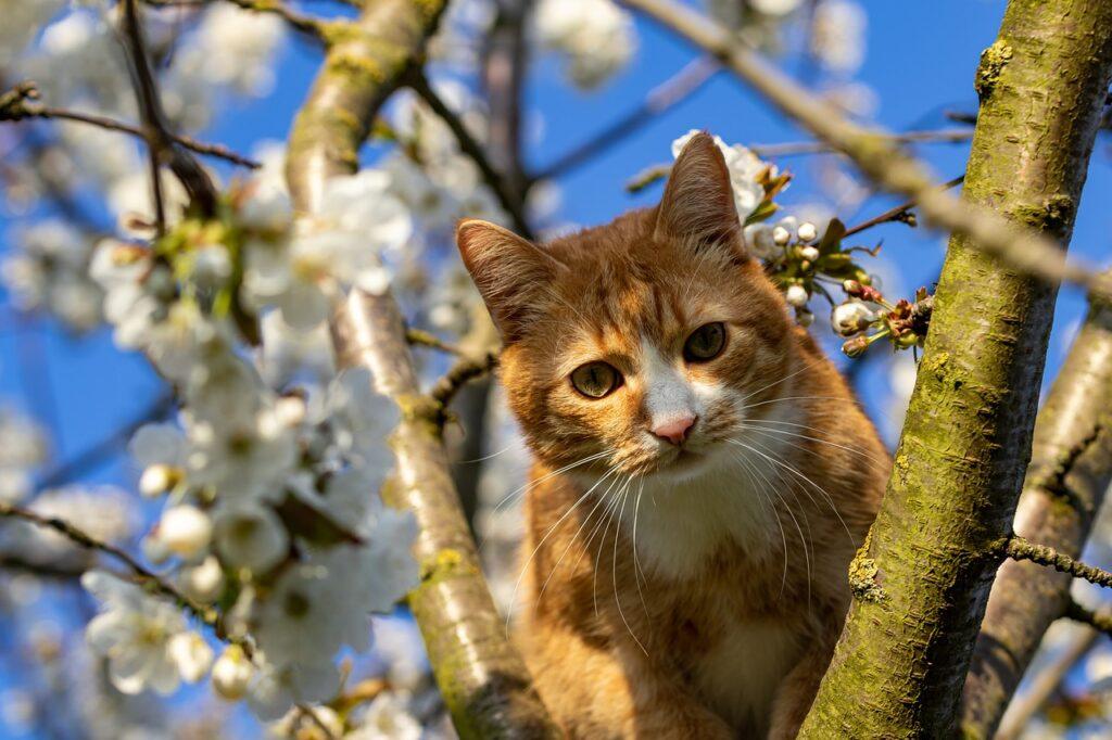 Cat Tree Cherry Tree Cherry Blossom  - ka_re / Pixabay