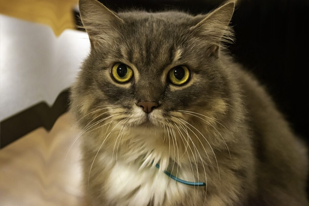 Cat Wonder Catty Grey Pet Animal  - Ri_Ya / Pixabay