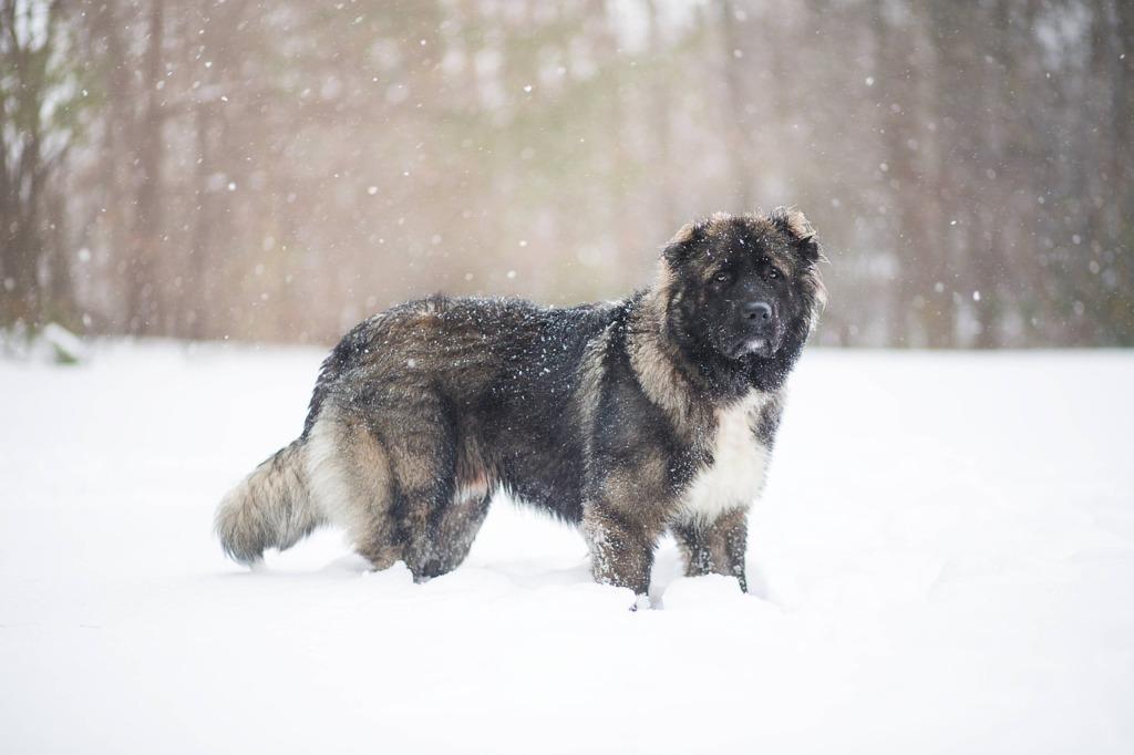 Caucasian Shepherd Dog Dog Snow  - RebaSpike / Pixabay