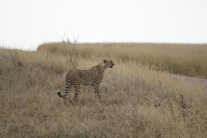 Cheetah Animal Safari Predator  - JanPhimself / Pixabay