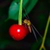 Cherry Fruit Dragonfly Insect  - Dmitry_Bukhantsov / Pixabay