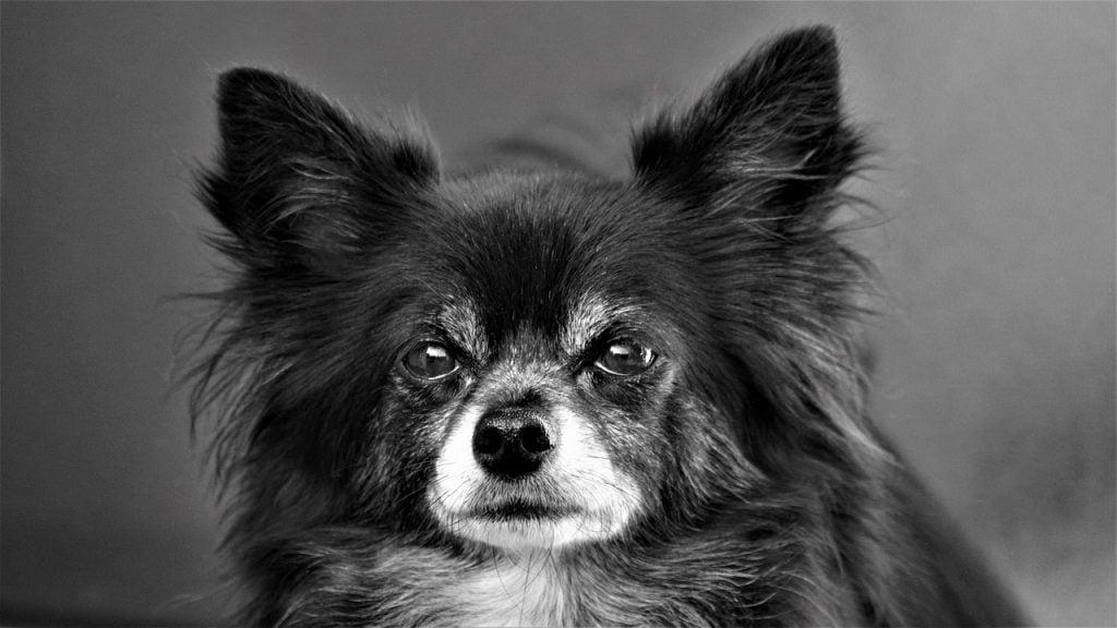 Chihuahua Dog Small Cute Sweet  - Mylene2401 / Pixabay
