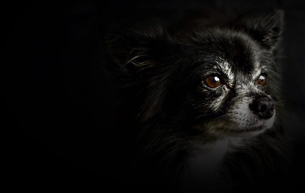 Chihuahua Small Dog Black White  - Mylene2401 / Pixabay