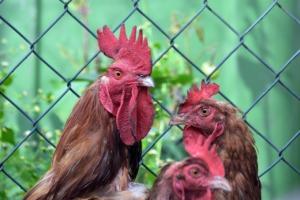 Cocks Chickens Birds Comb Poultry  - artellliii72 / Pixabay