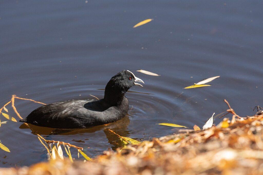 Coot Bird Lake Australasian Coot  - pen_ash / Pixabay