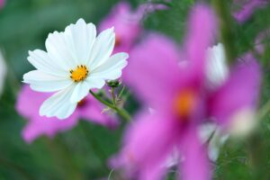 Cosmea Flower White Flower  - KRiemer / Pixabay