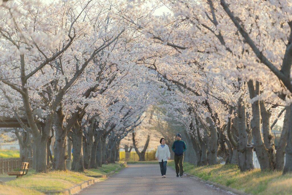 Couple Walking Sakura Trees Lane  - morn_japan / Pixabay