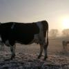 Cows Animal Mammal Livestock  - martintenhuf / Pixabay