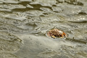 Crab Beach Seashore Crustacean Mud  - lorilorilo / Pixabay