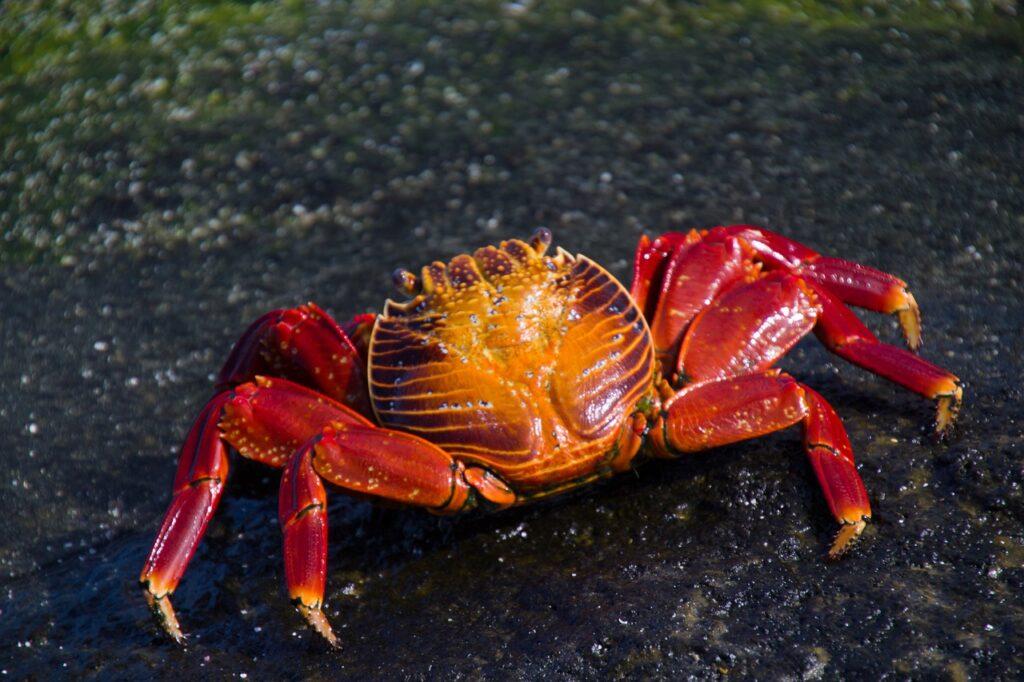Crab Crustacean Animal  - jabeebe46 / Pixabay